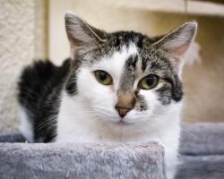 Mango lugu | mänguhimuline kass, keda saab taltsutada üksnes suletutiga